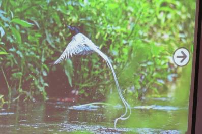 The unanimous winning photo of an Asian Paradise Flycatcher. I took this from a power point presentation and so it was not clear.