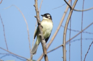 The Light-vented Bulbul is one of the most common bird species at the Wenfeng Park