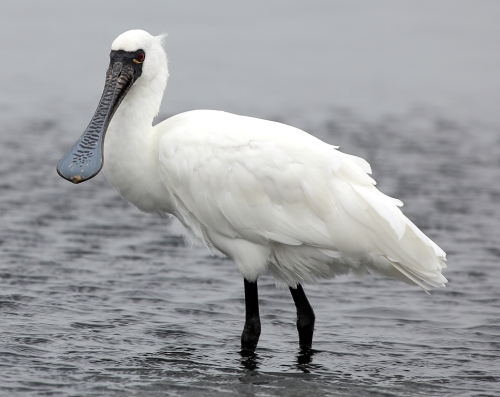 Black-faced Spoonbill (3)