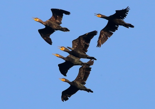Great Cormorant in Aogu