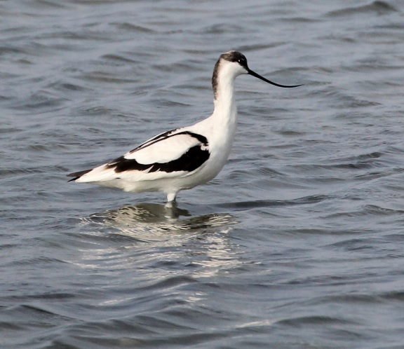 Pied Avocet-logo bird (2)