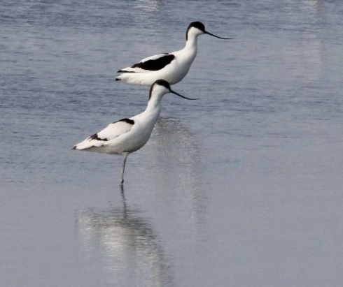 Pied Avocet-logo bird (1)