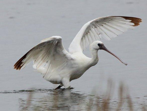 Black-faced Spoonbill, Taiwan is world major wintering sites to this bird. They are easy to see from Oct. to Mar. in South West Coast every year.