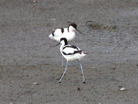 Pied Avocet, Esay to observe in South West Coast, Taiwan.