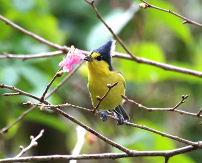 Yellow Tit, Taiwan Endemic Species